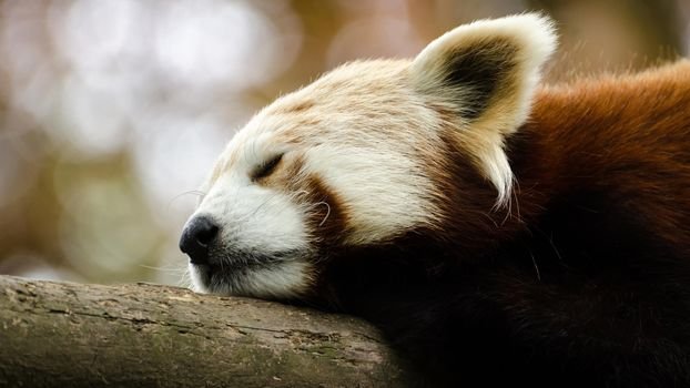 panda, little panda, Red panda, animals, fauna, mordashka, fluffy, red, sleeps, sleep