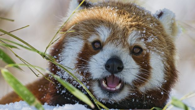 panda, little panda, Red panda, animals, fauna, mordashka, fluffy, red, snow, winter