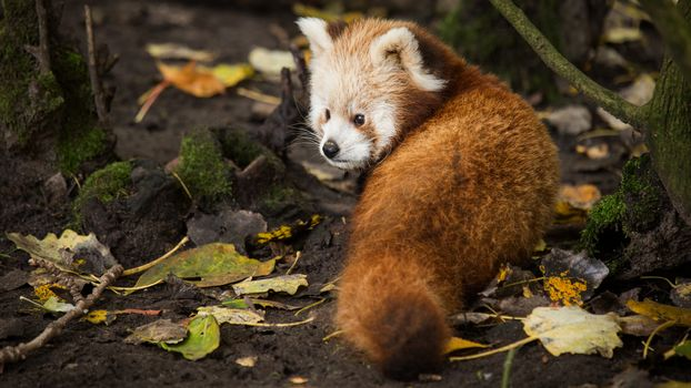 panda, little panda, Red panda, animals, fauna, mordashka, fluffy, red, autumn, leaves
