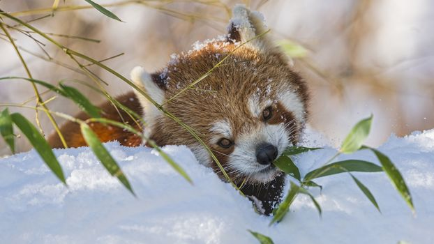 panda, little panda, Red panda, animals, fauna, mordashka, fluffy, red, winter, snow