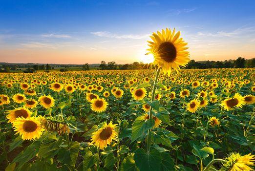 field, sunflowers, landscape