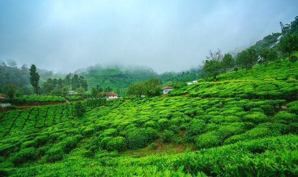 Munnar, Kerala, India, tea field, hills, fog, trees, at home, landscape