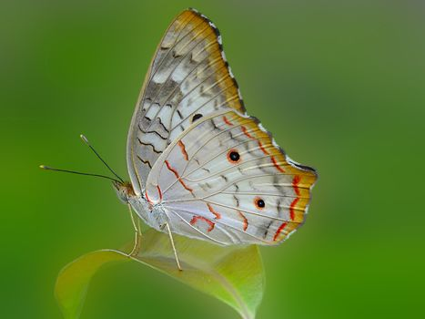 Peacock-white butterfly, insect