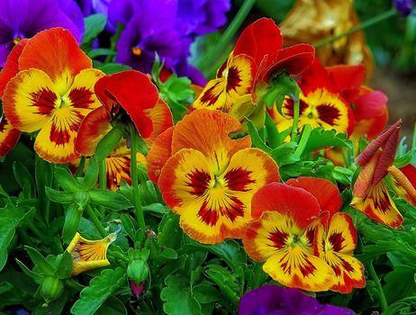 pansies, viola, Violets, flowers, flora