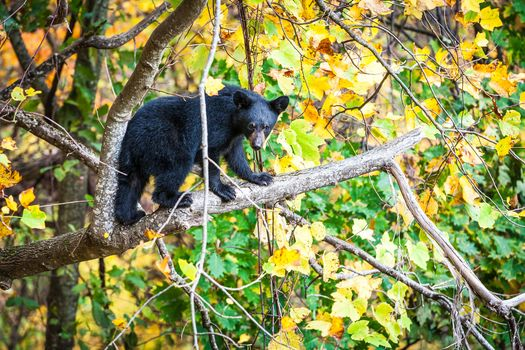 Smoky Mountains National Park, Gray Smoki Mauntins Park, Tennessee, autumn, forest, trees, bear