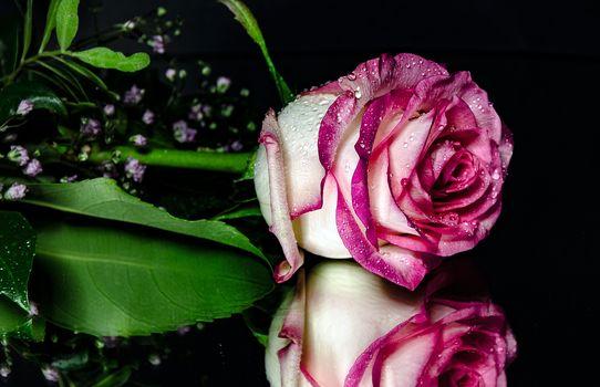 バラ, バラ, 花, 滴, フローラ, 反射