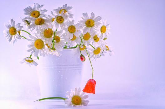 chamomile, flowers, bouquet, flora