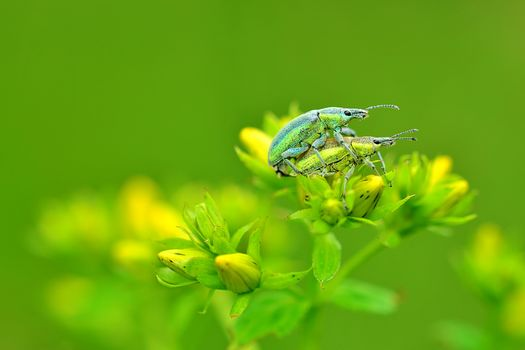 flowers, beetles, macro