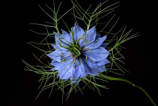 Nigella, flower, flowers, Black background, flora