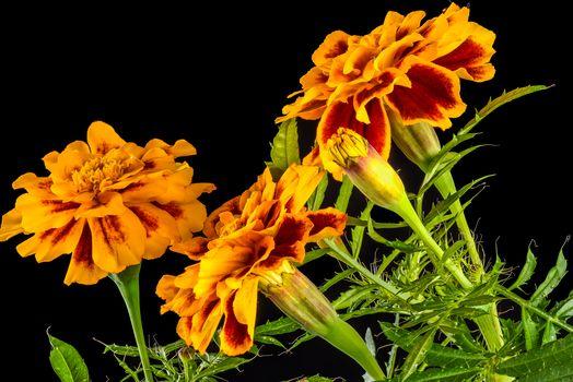 Shotguns, Marigold, flowers, Black background, flora