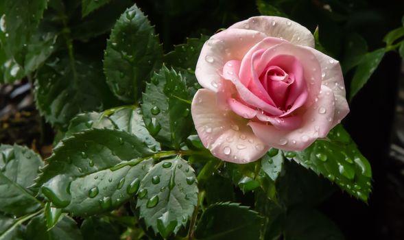 バラ, 花, 露, 滴, フローラ