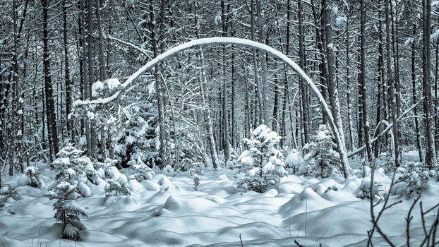 winter, forest, trees, snowdrifts, landscape