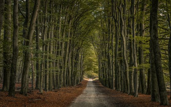 forest, trees, road, alley, landscape