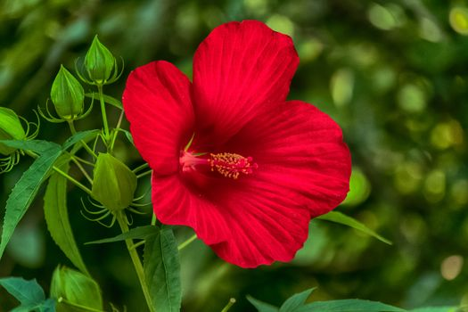 Gibiskus, Hibiscus, flower, flora