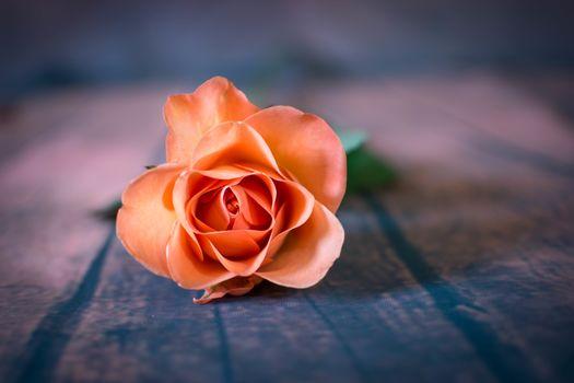 flower, rose flower, flora