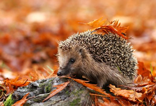 autumn, yoj, Hedgehog, animal