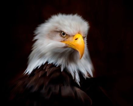 Royal portrait, Bald eagle, bird, predator