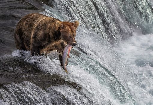 bear, a fish, waterfall