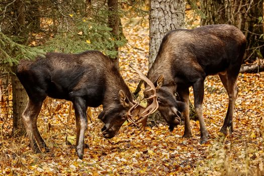 bad, animals, The battle of two moose