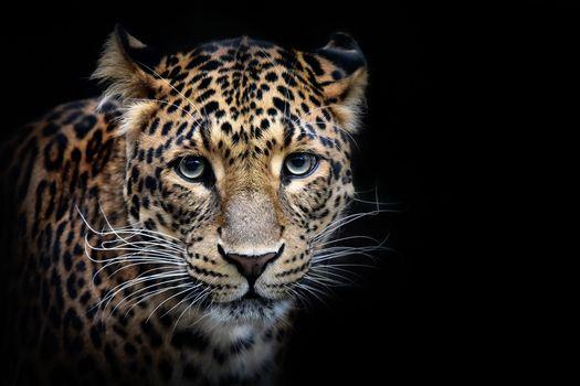 Sri Lanka leopard leopard, portrait, animal, predator