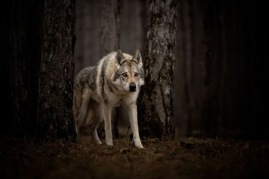 wolf, predator, animal, sight