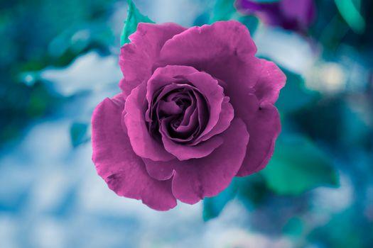 rose flower, roses, flowers, flora