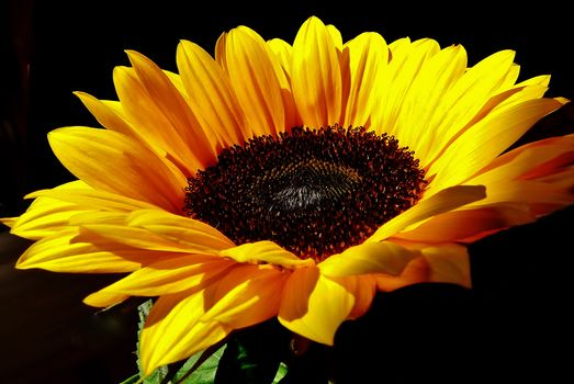 sunflower, flower, flora