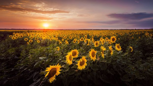 sunset, field, sunflowers, landscape