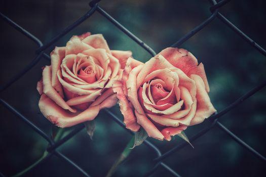Rose, Rosen, Blumen, Flora