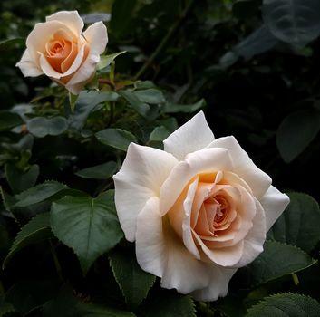 rose flower, roses, flowers, flower, flora