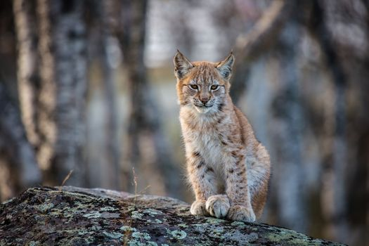 lynx, Rysyonok, Lynx cub, lynx kitten, camouflage, cats, cat family