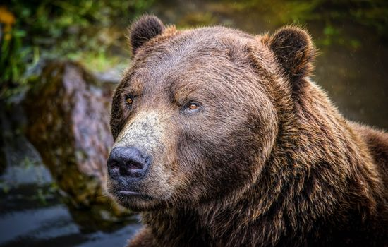 Alaskan brown bear, predator, animal