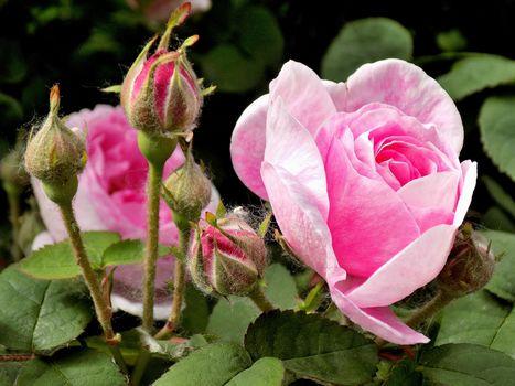 нежные розы3