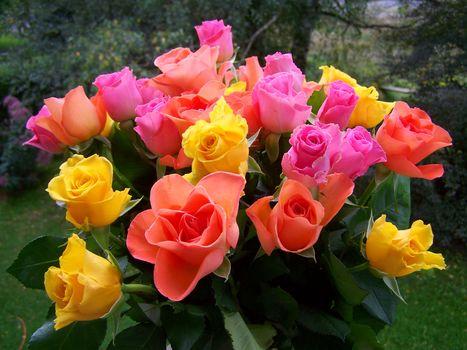 нежные розы 12