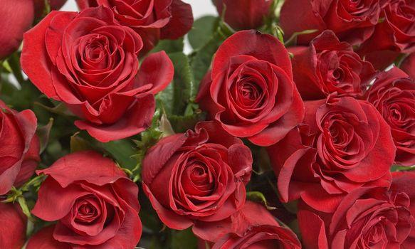 нежные розы 7