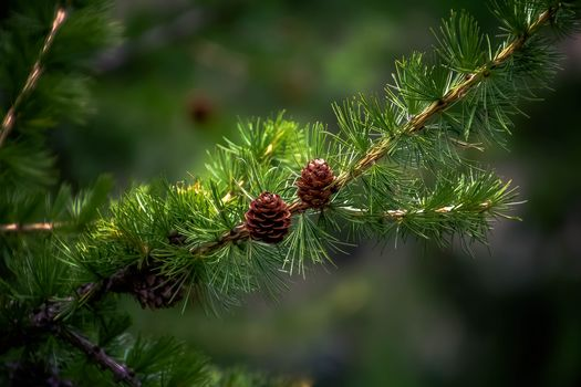 nature, pine, branches, coniferous, cones, background, greenery, needles, tree, coniferous, larch
