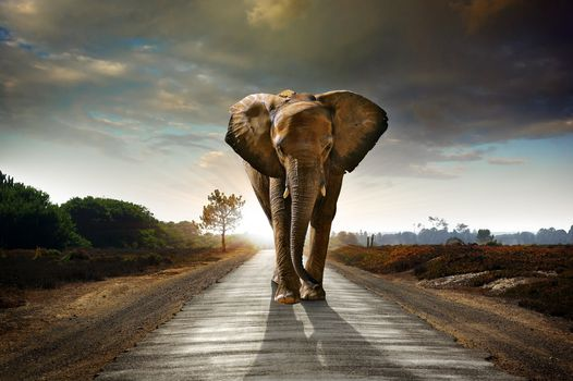elephant, animal, road, sunset, ears, xoʙot, is going, art