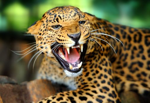 leopard, grin, teeth, animal, predator