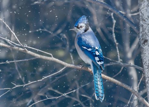 Blue jay, bird, tree, branch, bird on branch, snow