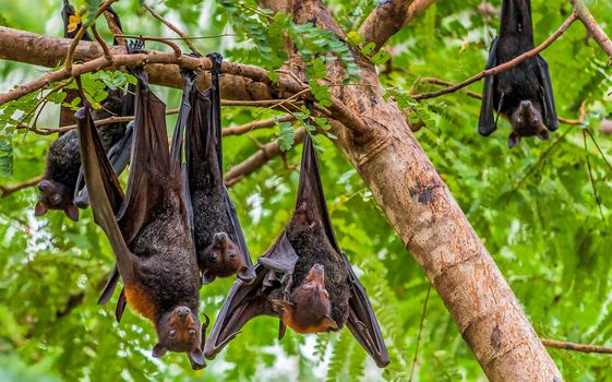 Australian Birds, Flying foxes, Nitmiluk National Park, Australia