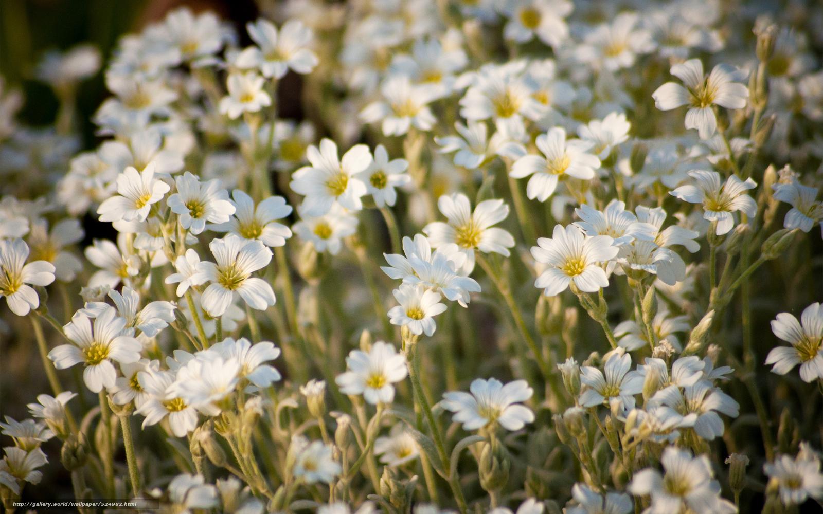 сдал днк белые полевые цветы фото с названиями разберём как нарисовать
