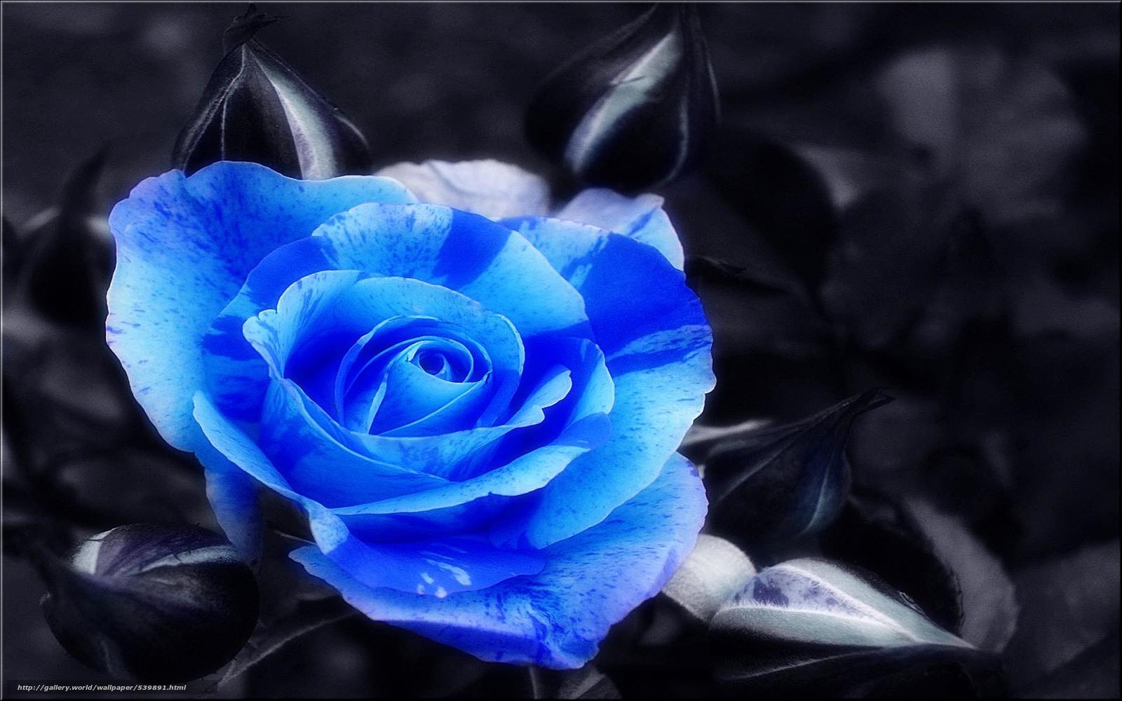 Фото символа англии алой розы разнообразия цвета