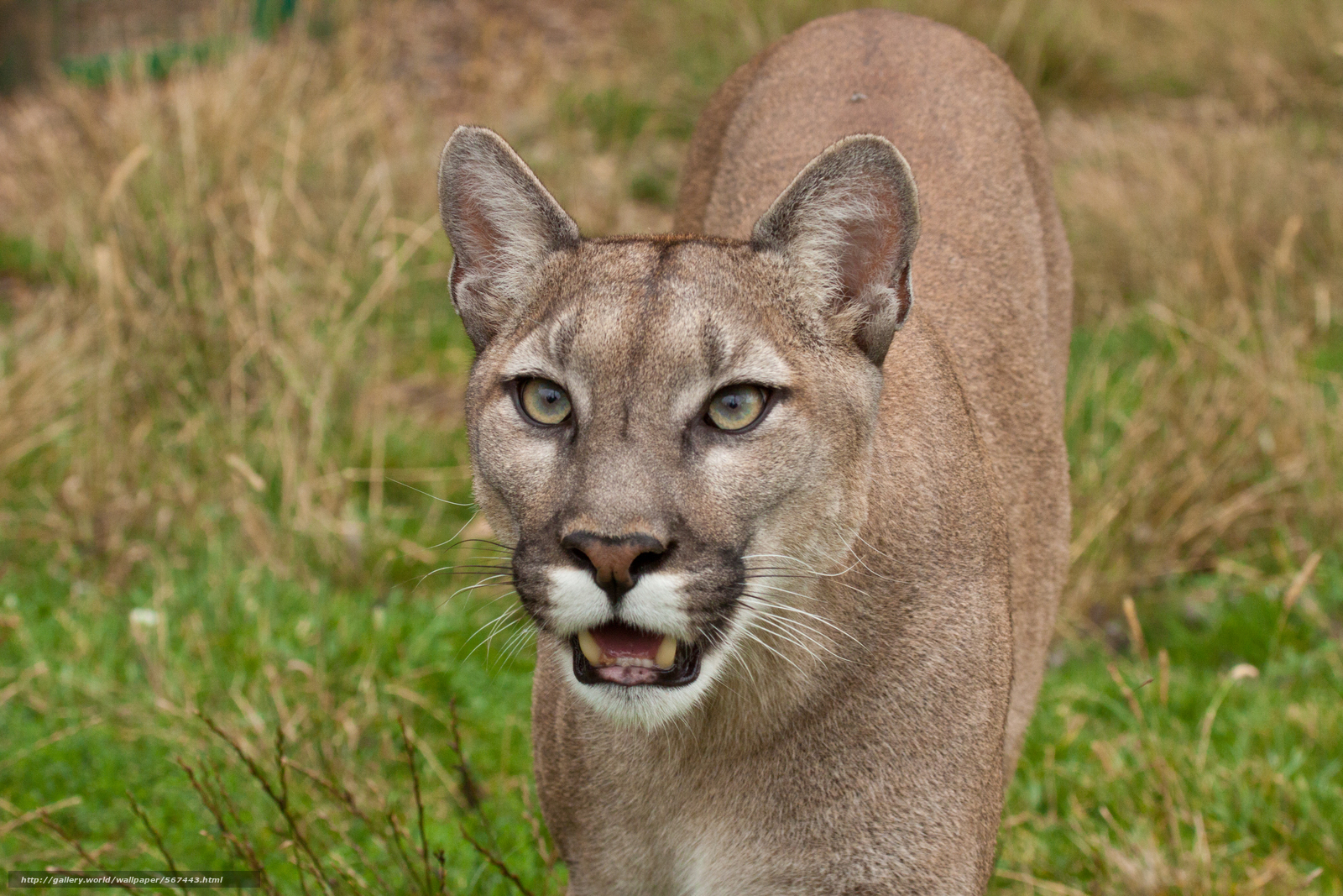 Cougar, view, cougar, Mountain Lion, cat - #567443