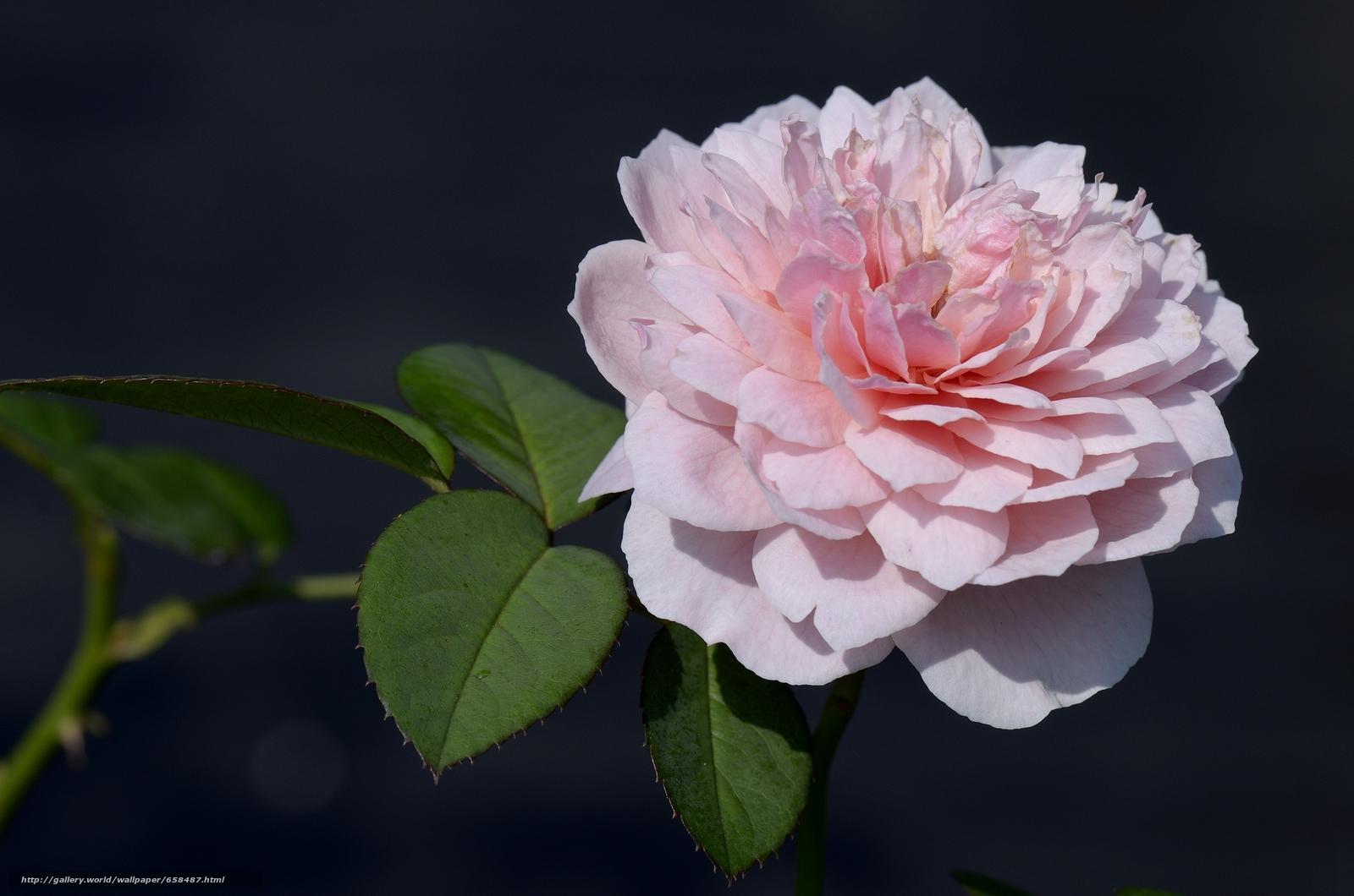 flower, Flowers, flora, rose, Roses