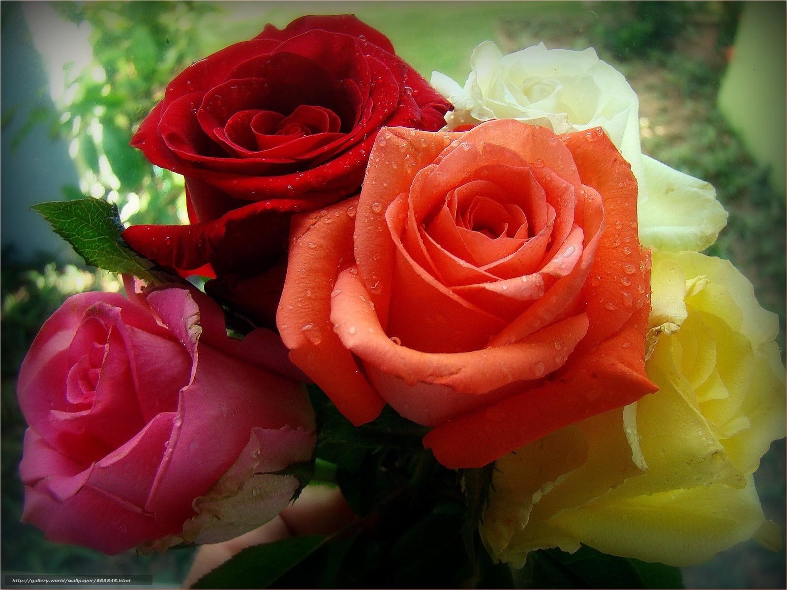 Открытки с красивыми розами для друзей, днем пионерской