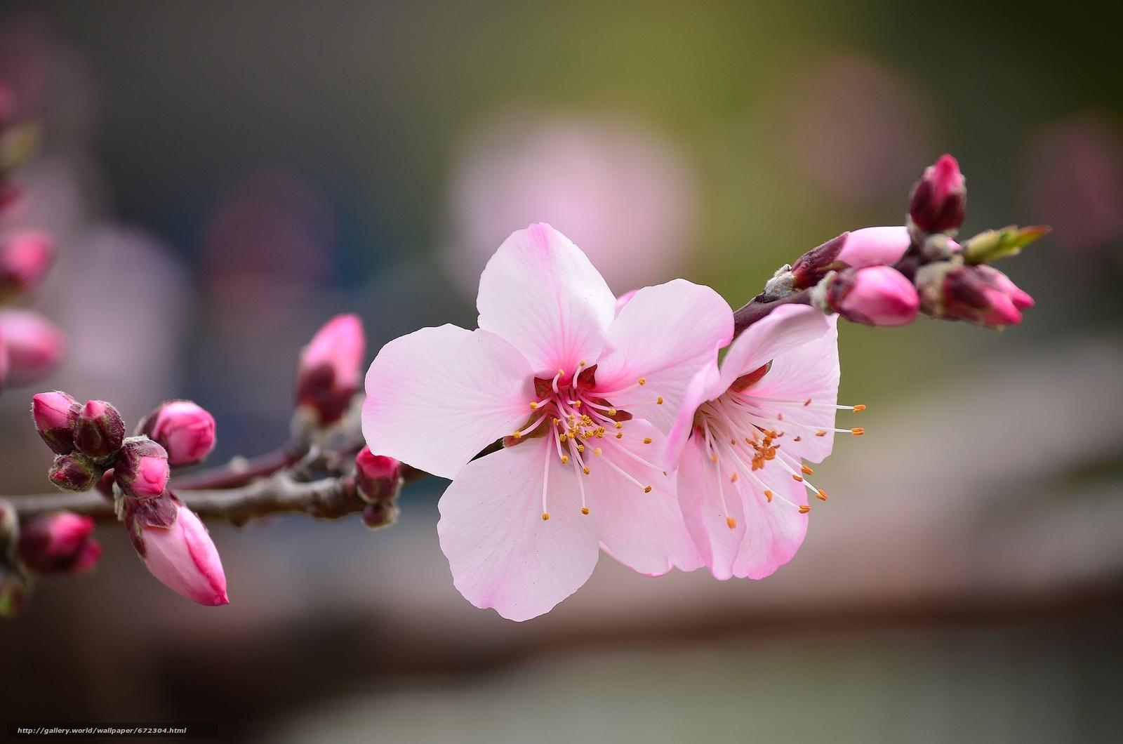 ветка цветущей вишни фото поисках оптимального