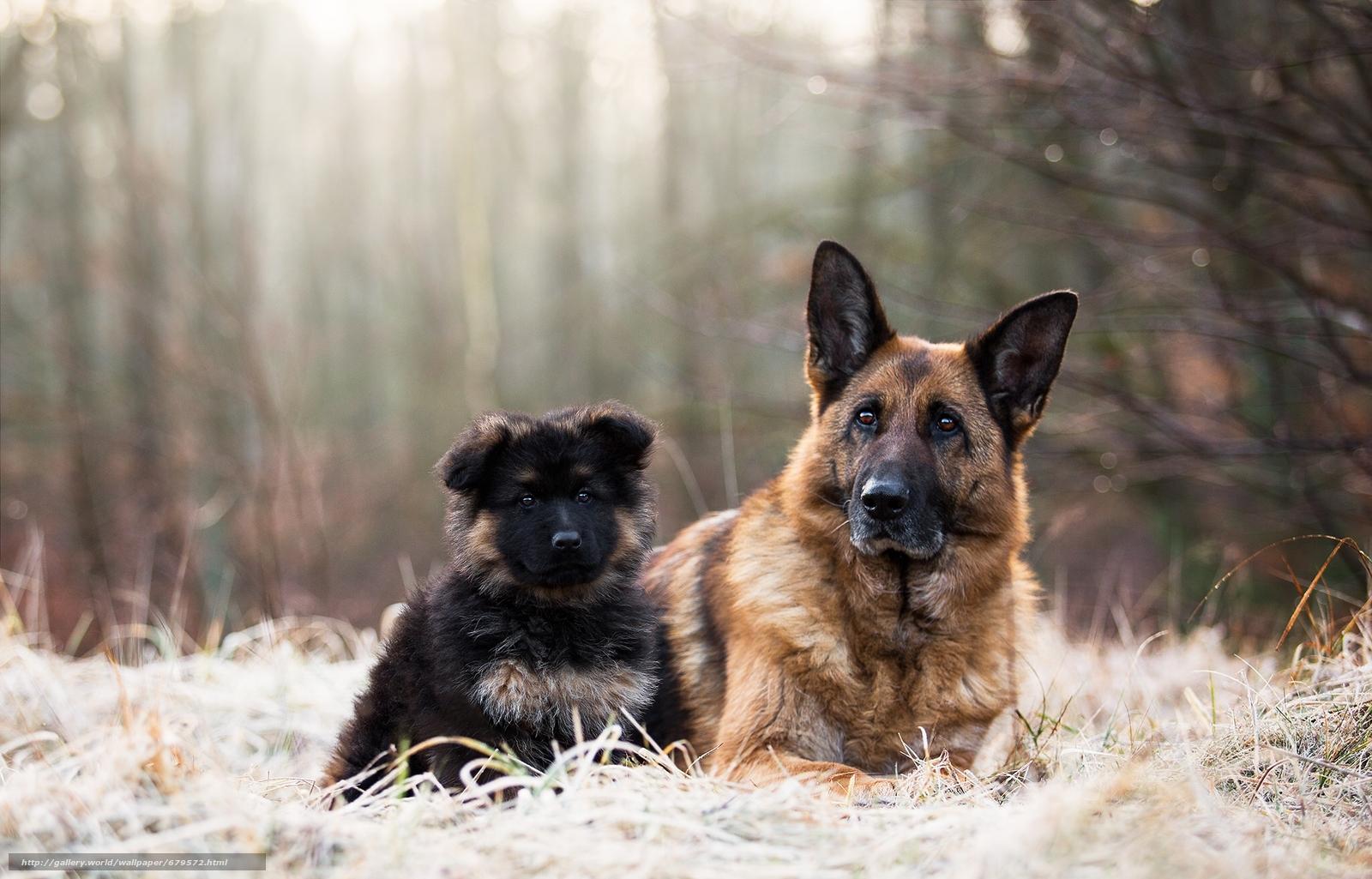 рекомендуем картинки собак овчарок немецких щенков телефоны интернет-ресурсы для