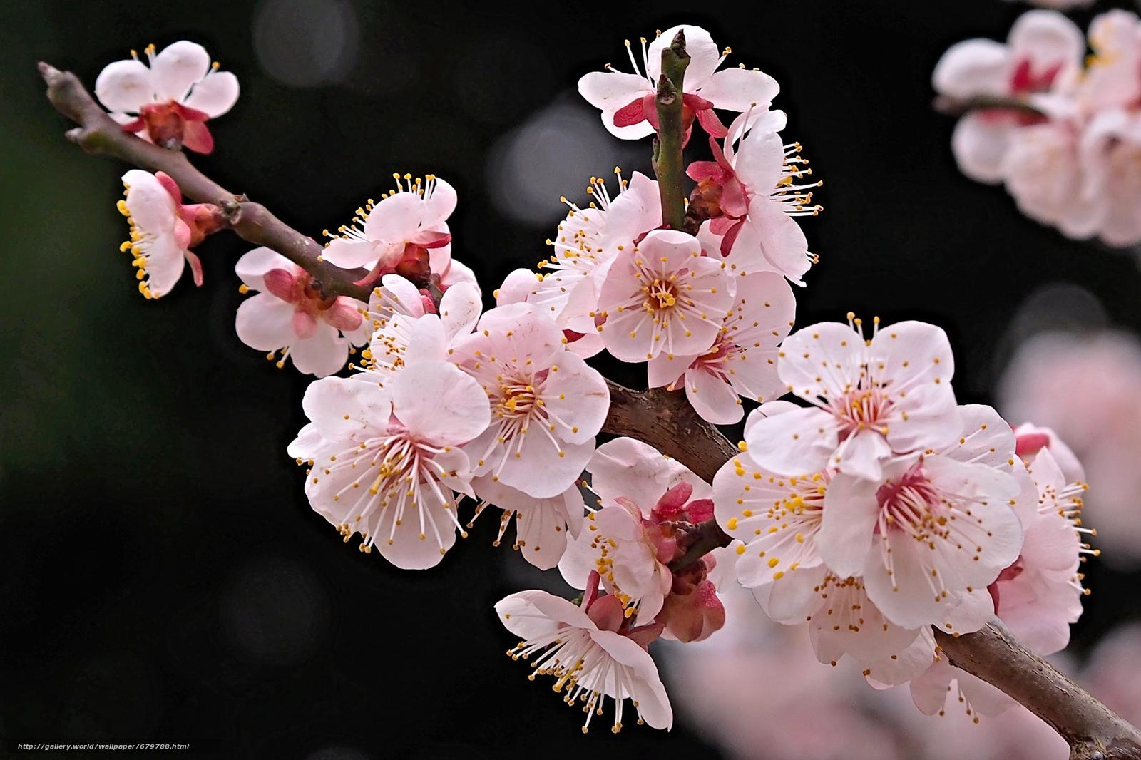 Ветка цветущей вишни фото