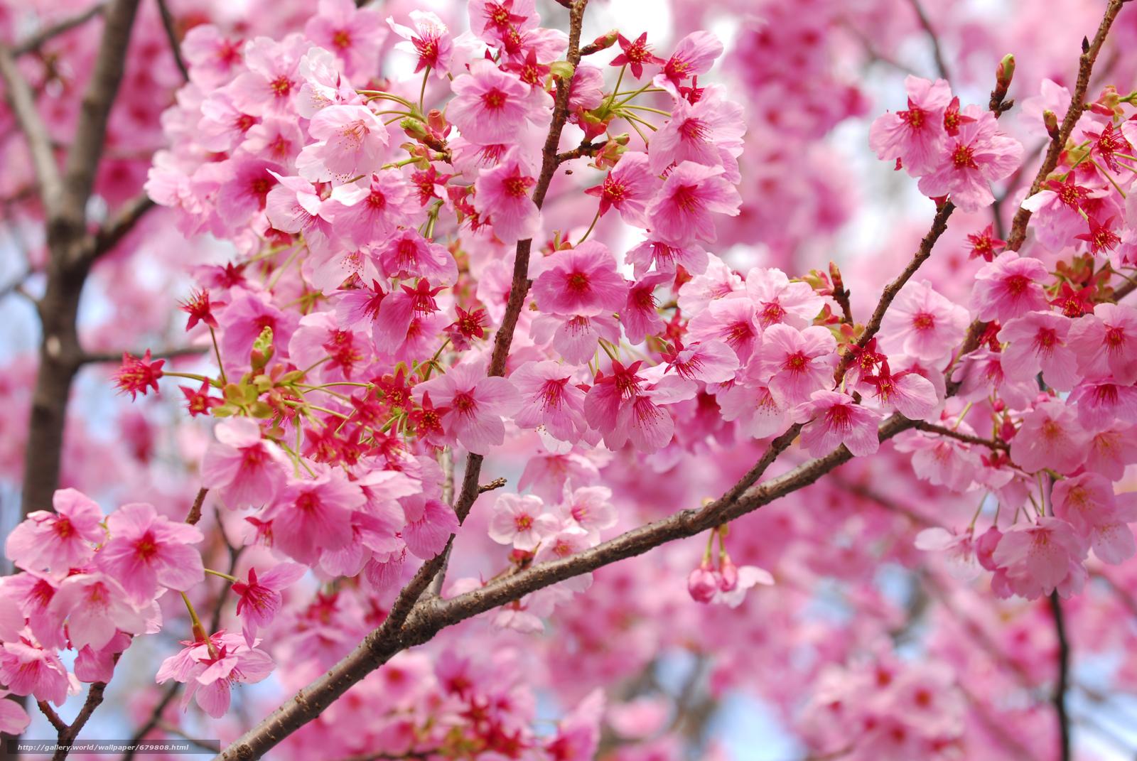 Картинки цветы сакуры красивые, девушки картинки
