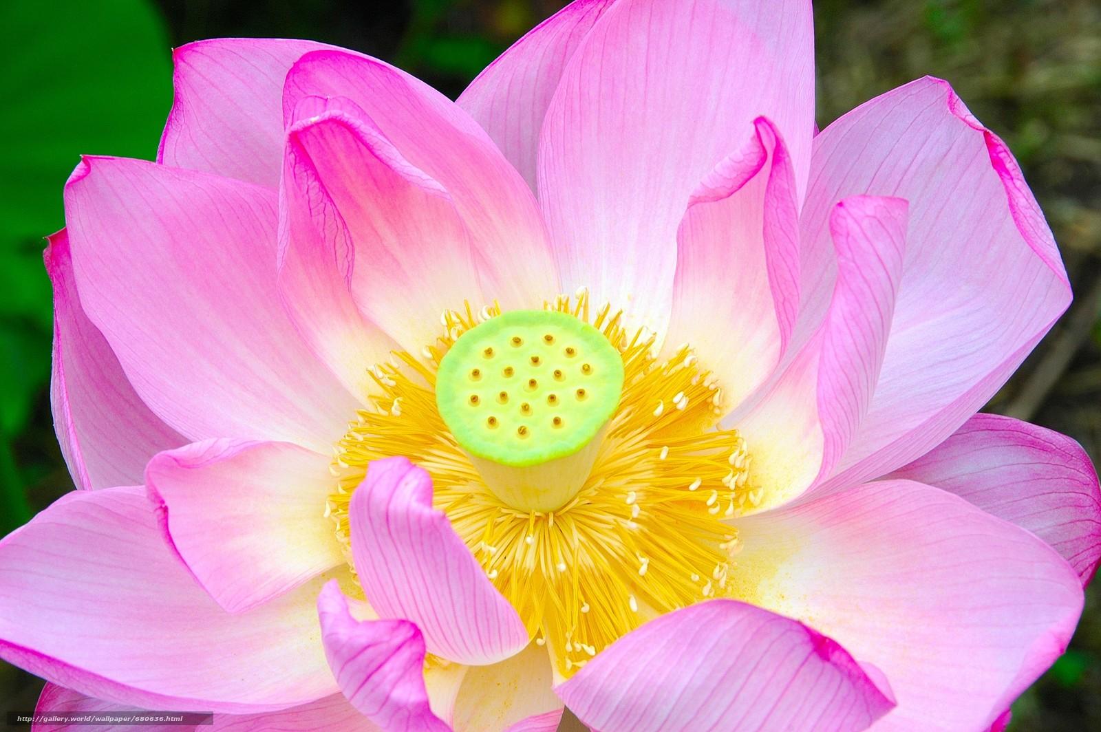 люди цветы лотоса фото высокого разрешения продаже